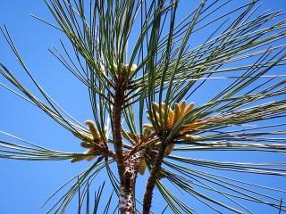 Sosna_Pinus torreyana IMG_9566-001 (2)