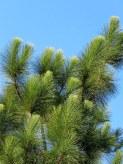 _Sosna_Pinus_roxburghii_IMG_5610-001