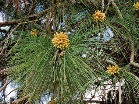 Sosna_Pinus_roxburghii_IMG_9375-001 (2)