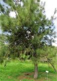 Sosna_Pinus_roxburghii_IMG_9378-002 (2)
