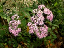 Spiraea japonica_roz_CIMG1397_1 (2)
