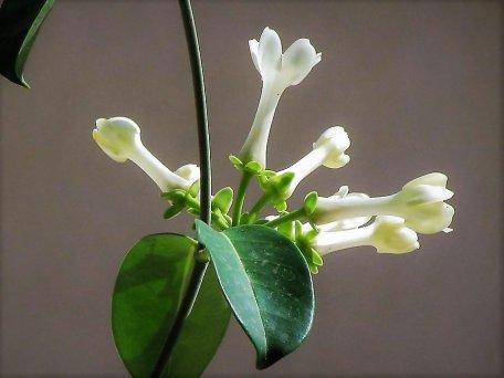 Stephanotis floribunda_Marsdenia_ IMG_7194 (4)-a