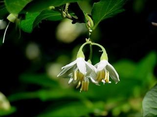 Styrax officinalis IMG_4989-001 (2)