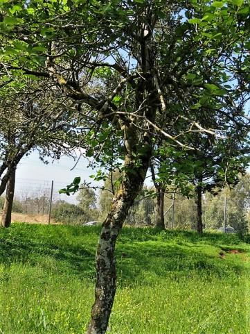 Styrax officinalis IMG_9643-001 (2)