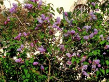 Syringa vulgaris IMG_0838 (2)