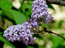 Syringa vulgaris IMG_0839 (2)