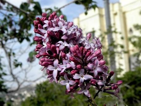 Syringa vulgaris IMG_0845 (2)
