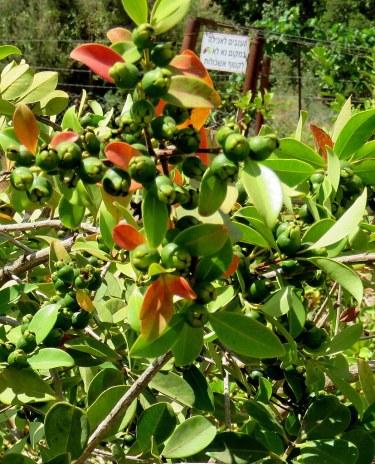 Syzygium muelleri IMG_3573-001