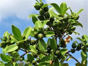 Syzygium muelleri IMG_3574-001 (2)