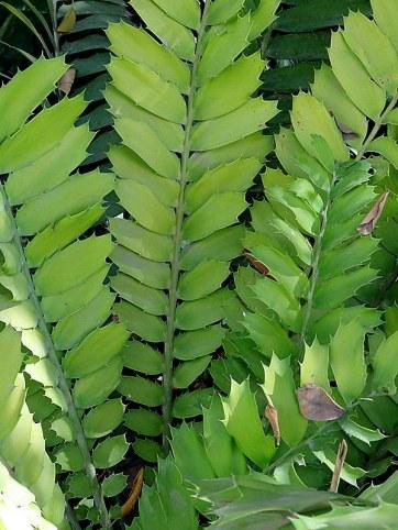 Encephalartos feroxIMG_1233-001