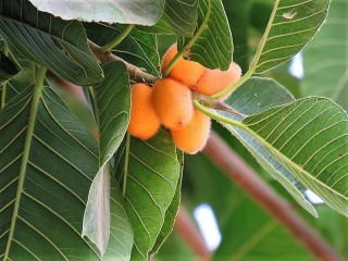 Ficus aurata_IMG_8660 (2)