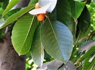 Ficus aurata_IMG_8873-002 (2)