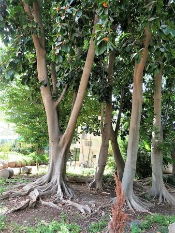 Ficus aurata_IMG_8874 (2)