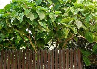 Ficus auriculata_Ficus roxburghii_P9260133-2a (2)