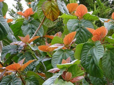 Ficus auriculata_P3190135-1a