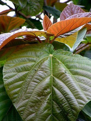 Ficus auriculata_P3190138-002