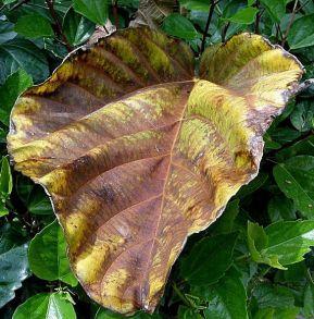 Ficus auriculata_P3290172-1a