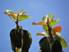 Ficus benghalensis P6260023_a (2)