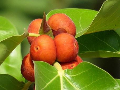 Ficus benghalensis_IMG_4737-001