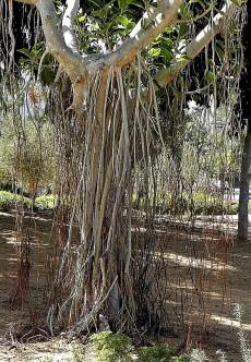 Ficus benghalensis_Korny_P9270218-1a (2)