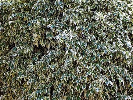 Ficus benjamina_P8150010_a (2)
