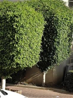 Ficus benjamina_PA020661_a (2)