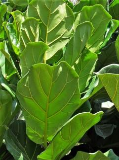 Ficus lyrata_IMG_2251 (2)