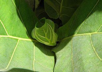 Ficus lyrata_P9260142_a