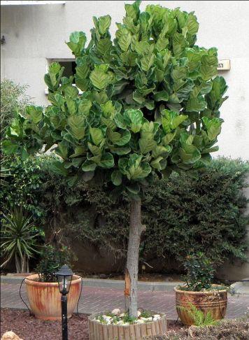 Ficus lyrata_PA22018-2a