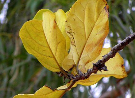 Ficus lyrata_PA230070-3a