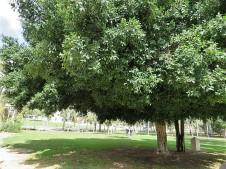 Ficus microcarpa_IMG_0527 (2)