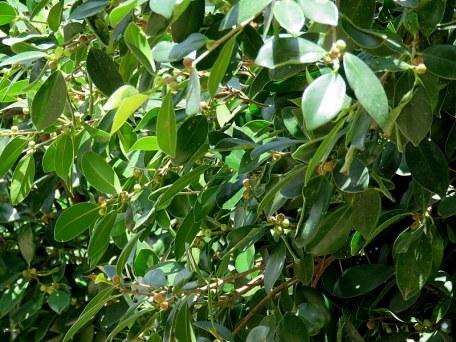 Ficus microcarpa_IMG_0528-001