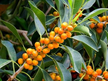 Ficus microcarpa_IMG_7904-001
