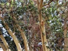 Ficus obliqua_IMG_1230 (2)