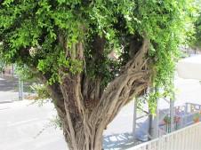 Ficus obliqua_IMG_1258 (2)