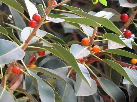 Ficus obliqua_IMG_4663 (2)