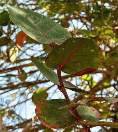 Ficus petiolaris_IMG_1346 (2)