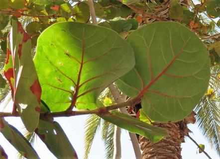 Ficus petiolaris_IMG_1350-001 (2)