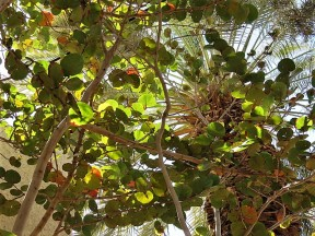 Ficus petiolaris_IMG_1352 (2)