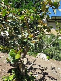 Ficus petiolaris_IMG_1394 (2)