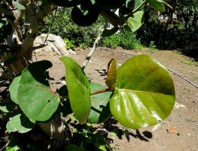 Ficus petiolaris_IMG_1395-001