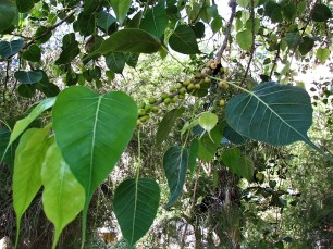 Ficus religiosa_IMG_5854 (2)
