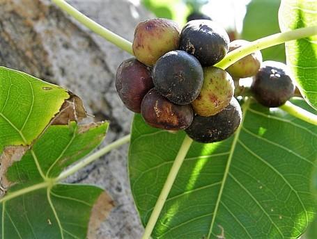 Ficus religiosa_Yag_P4050325_a (2)