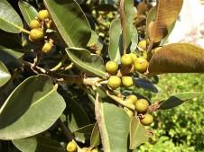 Ficus rubiginosa_CIMG2600 (2)