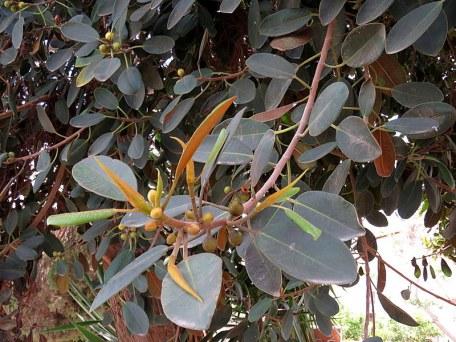 Ficus rubiginosa_IMG_0670-001