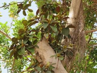 Ficus rubiginosa_IMG_1674-001