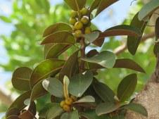 Ficus rubiginosa_IMG_1675-001