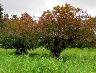 Ficus Sur IMG_1899-002