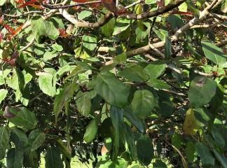 Ficus sur IMG_2679-003 (2)