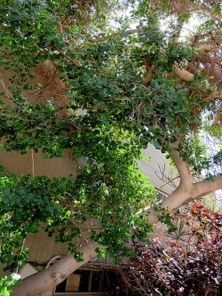 Ficus triangularis IMG_1152-001